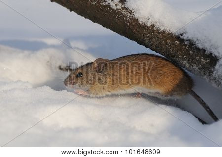 Striped Field Mouse Jumping From The Whinter Hole