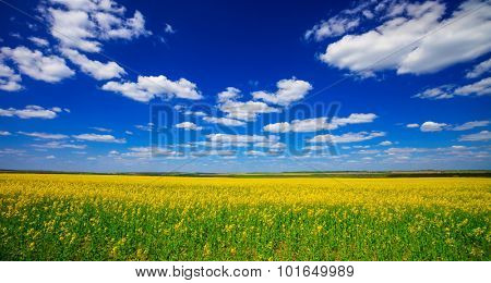 field with flowering yellow oilseed rapeseed and bright sun in the sky