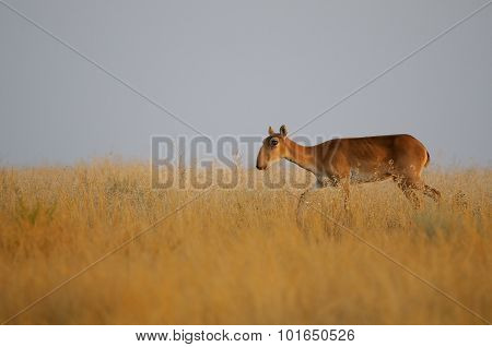 Saiga Antelope In Morning Steppe