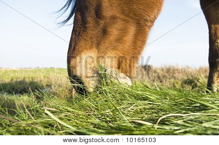 Close up of a brown horse grazing on grass.