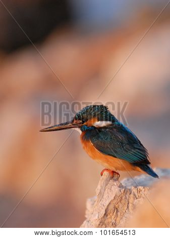Early Morning Emerald Kingfisher On Red Sea Coast Stone. Egypt.