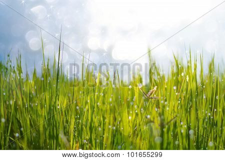 Fresh Green Grass With Dew Drop Closeup.