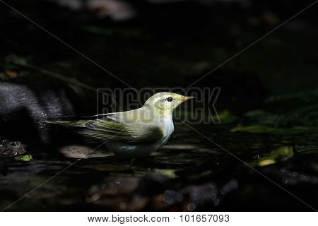 Wood Warbler Near The Dark Forest Bathing And Drinking Stream