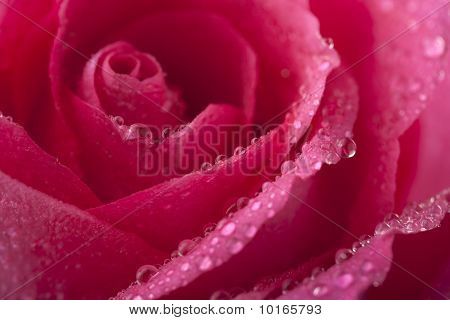 Beautiful Pink Rose With Water Droplets (shallow Focus)