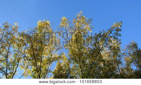 Autumn Poplars