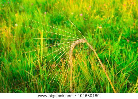 Single Ear Of Wheat