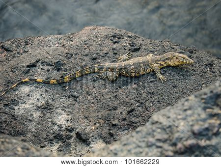 water monitor or Varanus salvato crawl beside natural lake
