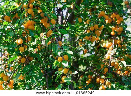 Orange Cherry Plum Tree