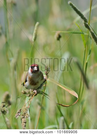 European Goldfinch Seeks The Seeds Among Summer Grasses