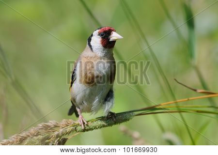 European Goldfinch At The Sunny Summer Meadow