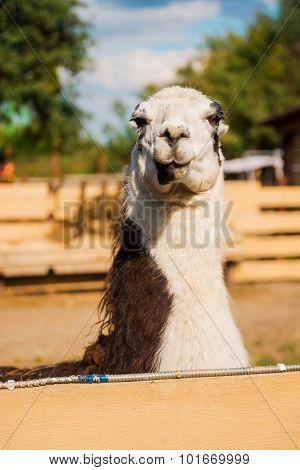 Gorgeous Llama.