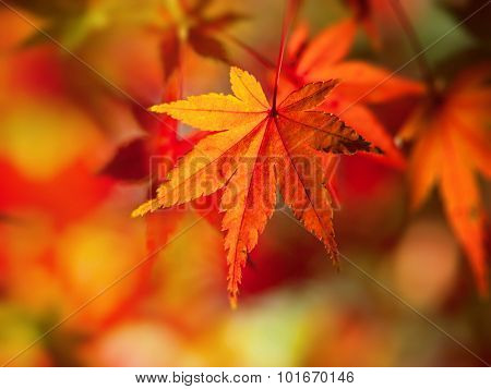Bright red and orange Japanese maple leaf in mid autumn.