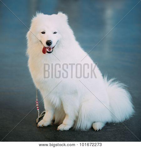 Happy White Samoyed Bjelkier Dog Sitting On Floor