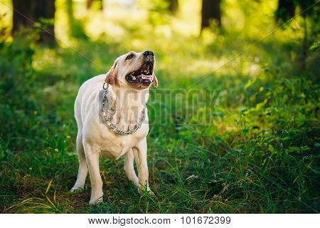 Labrador Retriever Dog Barking Outdoor In Green Grass, Forest Pa