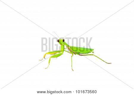 Green Praying Mantis Insect