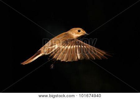 Golden Flight Of Pied Flycatcher