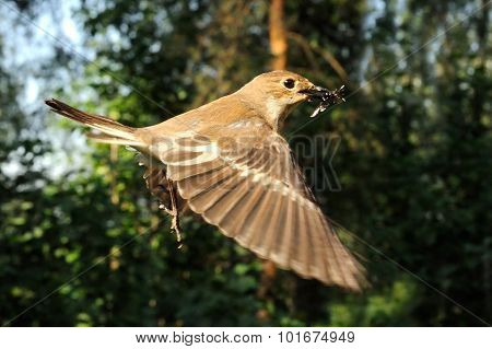 Flying Female Pied Flycatcher With The Feed