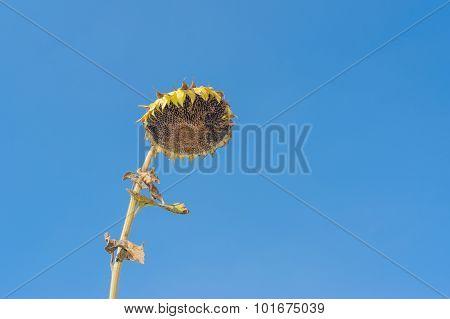 Ripe sunflower against blue cloudless sky