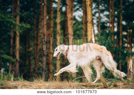 White Russian Borzoi, sighthound, gazehound hunting dog, runnin