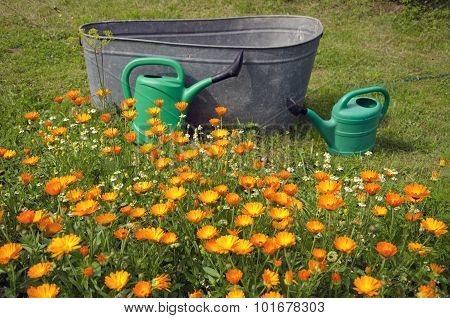 Calendula Growing In Front Of Two Watering Cans And Tub