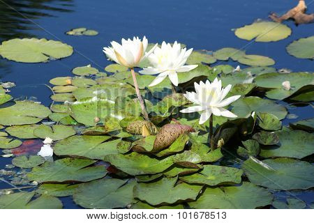 White nymphaeaceae