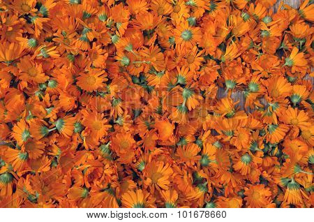 Background Of Picked Calendula Heads Drying