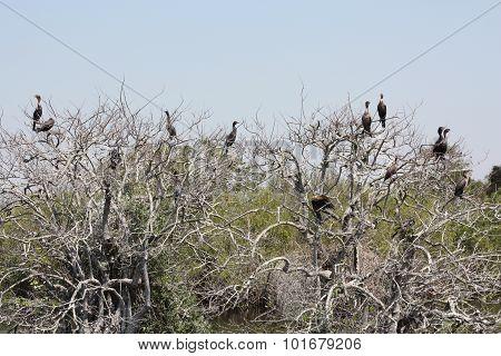 anhinga tree