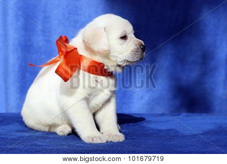 A Nice Labrador Puppy On A Blue Background