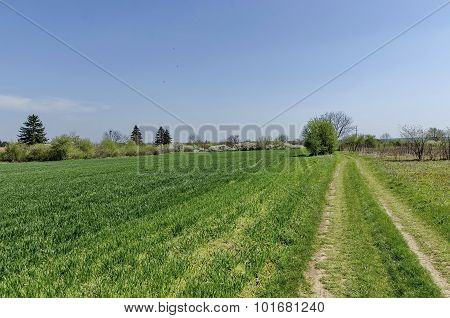 Sown field and blossom trees in spring