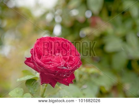 Red Roses Beautiful Natural Background