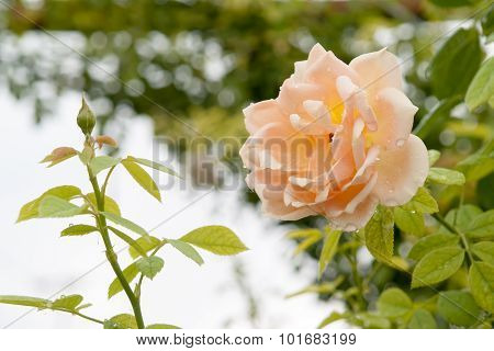 Roses On A Background Of Nature