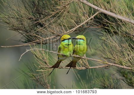 Little Green Bee-eaters Couple Courtship At Goa Beach, India
