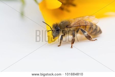 Worker Honeybee With Yellow Flower