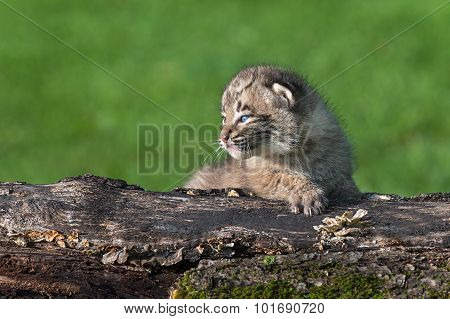 Baby Bobcat (lynx Rufus) On Log Looks Left