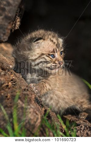 Baby Bobcat (lynx Rufus) Sits In Log
