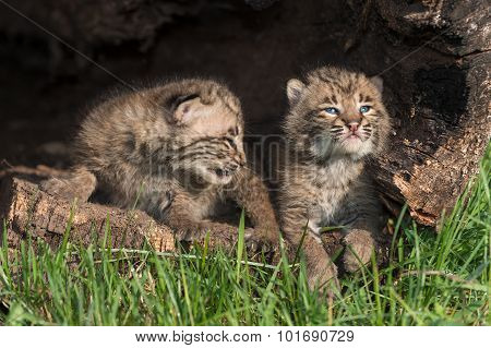 Baby Bobcats (lynx Rufus) Look Up In Log