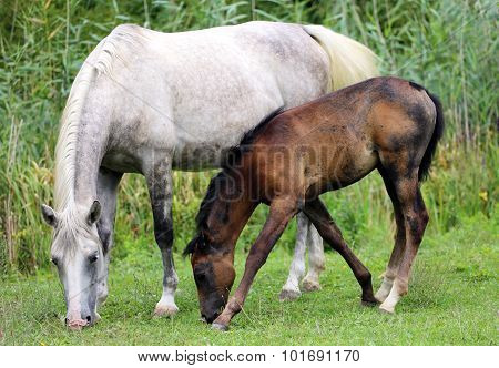 Mare With Her Filly