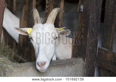 Goat in an animal stable
