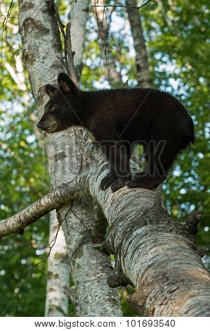 Young Black Bear (ursus Americanus) Stands On Branch