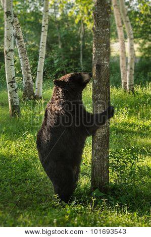 Female Black Bear (ursus Americanus) Stands To Sniff Tree