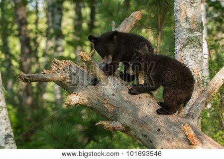 Young Black Bears (ursus Americanus) In Tree