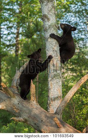 Young Black Bears (ursus Americanus) Climb Up Tree