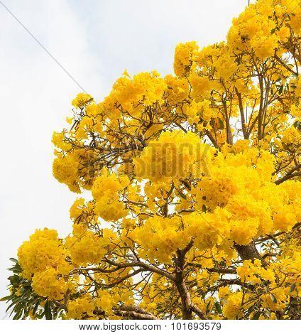 Silver Trumpet Tree