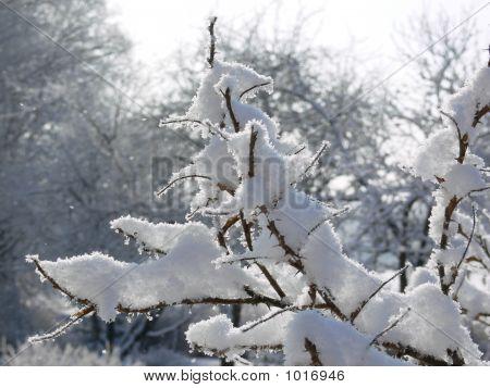 Bush In Snow