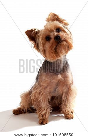 Yorkshire Terrier, Sitting And Looking At Camera Against White Background