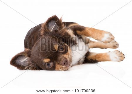 adorable brown chihuahua puppy