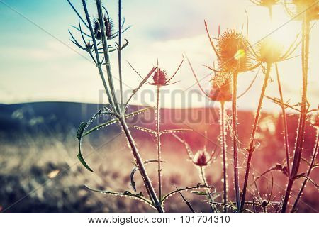 Thistle on sunset, thorny weed growing on wild field, beauty of wild nature, amazing landscape, autumn season