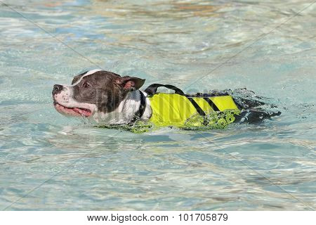 Pitbull in a swim vest