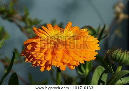 Orange calendula blossom from the side