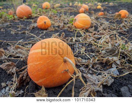 pumpkin ripening in the garden